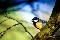 GREAT TIT-26