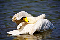 TUNDRA BEWICK'S SWAN (Cygnus columbianus) at the lake, Aberdare Park