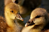 Goslings at Aberdare Park